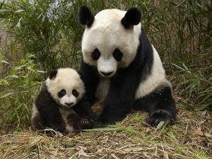 Giant Panda (Ailuropoda Melanoleuca) Adult, Wolong Nature Reserve, China by Katherine Feng