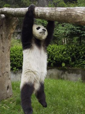 Giant Panda (Ailuropoda Melanoleuca) Young Panda Hanging from Tree by Katherine Feng