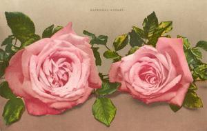 Katherine Mermet Pink Roses