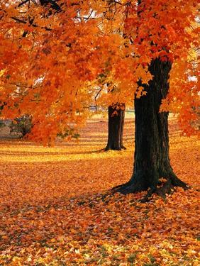 Maple Trees in Autumn by Kathleen Brown
