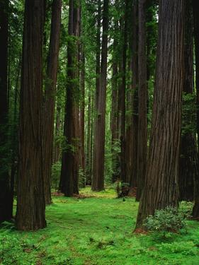Redwood Forest by Kathleen Brown