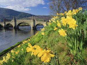 Daffodils by the River Tay and Wade's Bridge, Aberfeldy, Perthshire, Scotland, UK, Europe by Kathy Collins
