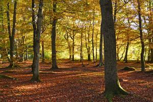 Interior of Autumn Woodland, Scotland UK by Kathy Collins