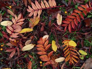 Overhead View of Fallen Rowan Leaves in Autumn Colours, Red and Gold by Kathy Collins