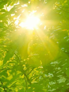 Sunburst through Spring Branches and Green Leaves by Kathy Collins