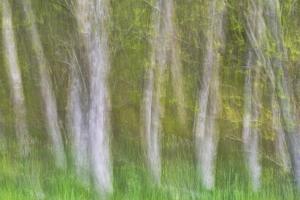 Alder Forest I by Kathy Mahan