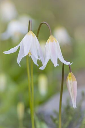 Avalanche Lily II by Kathy Mahan