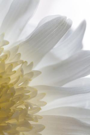 Chrysanthemum II by Kathy Mahan