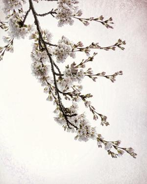 Flowering Cherry I by Kathy Mahan