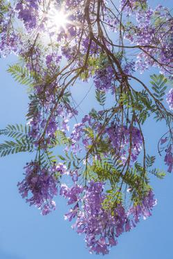 Jacaranda Tree II by Kathy Mahan