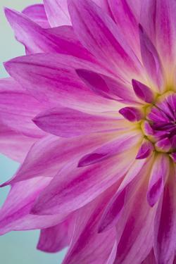 Pink Dahlia I by Kathy Mahan