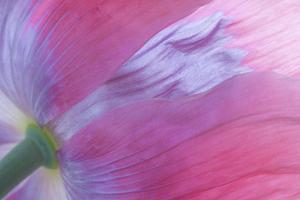 Pink Poppy I by Kathy Mahan
