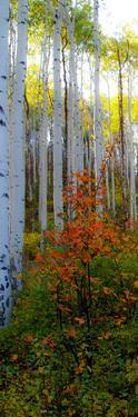Aspen in the Day I by Kathy Mansfield