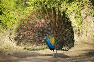 India, Rajasthan, Ranthambore. a Peacock Displaying. by Katie Garrod