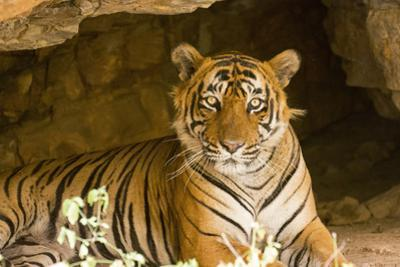 India, Rajasthan, Ranthambore. Royal Bengal Tiger known as Ustad (T24) Resting in a Cool Cave.