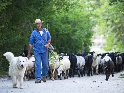 Italy, Umbria, Campi, a Shepherd Bringing His Flock Down from the Hills, with the Help of His Dogs