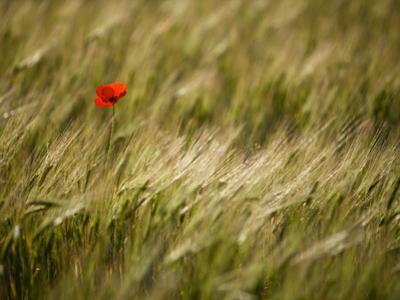 Italy, Umbria, Norcia, a Single Poppy in a Field of Barley Near Norcia