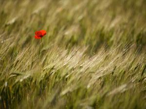 Italy, Umbria, Norcia, a Single Poppy in a Field of Barley Near Norcia by Katie Garrod