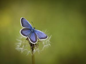 Italy, Umbria, Norcia, Purple Butterfly on a Dandelion by Katie Garrod