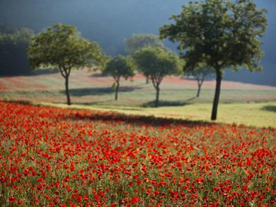 Italy, Umbria, Norcia, Walnut Trees in Fields of Poppies Near Norcia, Bathed in Evening Light