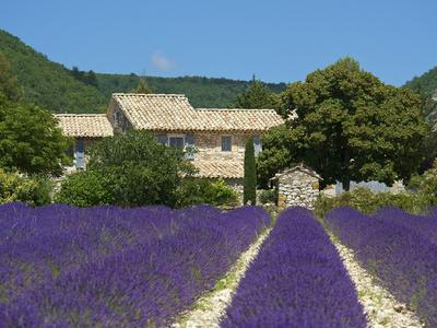 Lavender Near Banon, Provence, Provence-Alpes-Cote D'Azur, France