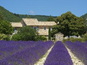 Lavender Near Banon, Provence, Provence-Alpes-Cote D'Azur, France by Katja Kreder