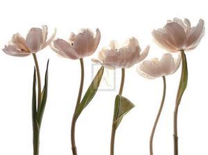Aprile Tulipano by Katja Marzahn