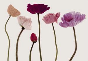 Colourful Poppies by Katja Marzahn