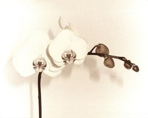 Orchid Dawn I by Katja Marzahn