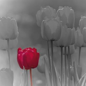 Tulip Accent I by Katja Marzahn