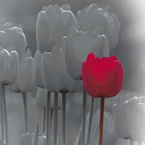 Tulip Accent II by Katja Marzahn