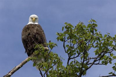 https://imgc.allpostersimages.com/img/posters/katmai-peninsula-alaska-usa-american-bald-eagle_u-L-Q1D0JUK0.jpg?p=0