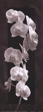 Orchid Opulence I by Katrina Craven