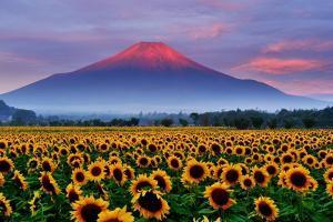 Sunflower and Red Fuji by katsumi.takahashi