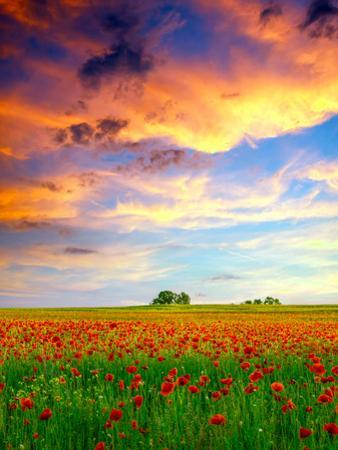 Poppies Field at Sunset by Kavita