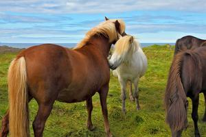 Beautiful and Well-Groomed Horse Chestnut and White Suit on Free Ranging. Icelandic Horses on the S by kavram