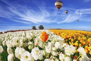 Beautiful Spring Weather, Beautiful Big Balloon Flies over the Field. the Huge Field of White and O by kavram