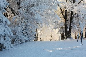 Christmas Morning. Snowy Winter Forest and Knurled Wide Trails. by kavram