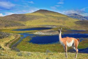 Dreamland Patagonia. Blue Water Grassy Lake, on  Hill Stands Beautiful Guanaco. National Park Torre by kavram