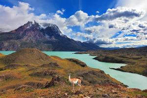 Early Autumn in Patagonia. National Park Torres Del Paine. on the Yellowed Grass Stands Guanaco - L by kavram
