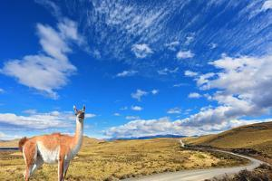 Gravel Road between the Mountains and Trusting Guanaco -  Small Camel. National Park Torres Del Pai by kavram