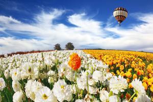 Huge Kibbutz Field of Multi-Colored Buttercups. Beautiful Spring Weather, Beautiful Big Balloon Fli by kavram