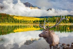 Jasper National Park in the Rocky Mountains of Canada. Proud Deer Antlered Stands on the Banks of T by kavram