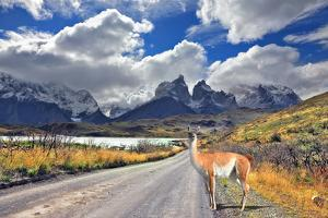 Neverland Patagonia. Lake Pehoe, Graceful Guanaco on Gravel Road. Away in the Clouds - the Cliffs O by kavram