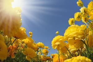 Picturesque Field of Beautiful Yellow Buttercups Ranunculus by kavram