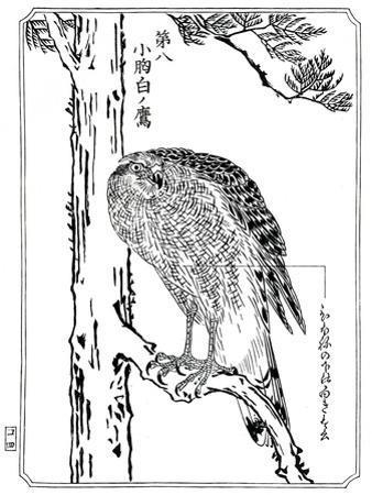 A Hawk, 1898