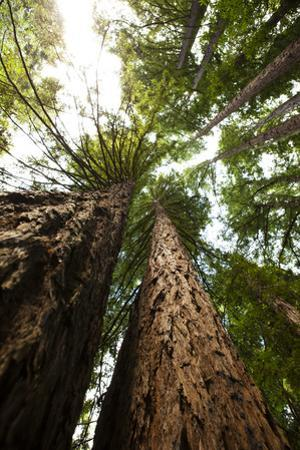 Looking Up the Trunks into the Canopies of Towering Redwood Trees by Keith Barraclough