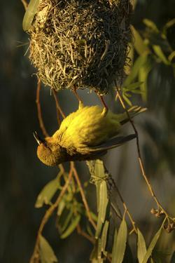 A Cape Weaver Bird Builds a Nest in South Africa by Keith Ladzinski