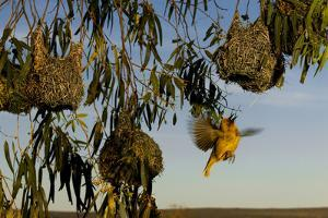 A Cape Weaver Hovers Beneath Hanging Nests in Cederberg Wilderness Area, South Africa by Keith Ladzinski