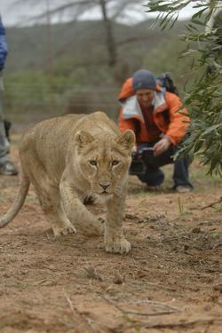 A Captive Lioness Approaches the Camera in South Africa by Keith Ladzinski